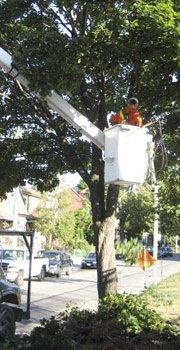 Professional Tree Services - Cabling and bracing